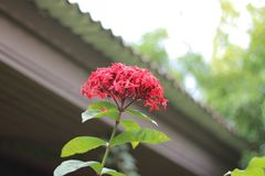 Belle fleur rouge de transitoire dans le jardin à Bangkok, Thaïlande photos libres de droits