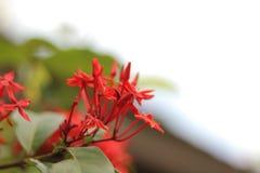 Belle fleur rouge de transitoire dans le jardin à Bangkok, Thaïlande images libres de droits