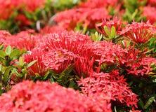 Belle fleur rouge de transitoire en nature fraîche images libres de droits