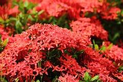 Belle fleur rouge de transitoire en nature fraîche photo stock