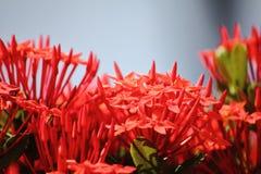Belle fleur rouge de transitoire en nature fraîche photographie stock