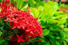 Belle fleur rouge de transitoire Floraison du Roi Ixora photographie stock libre de droits