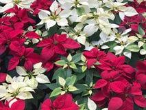 Belle fleur rouge et blanche de Noël de poinsettia photographie stock libre de droits