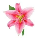 Belle fleur rouge fraîche de fleur de lis Images libres de droits