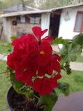 Belle fleur rouge?tre images stock
