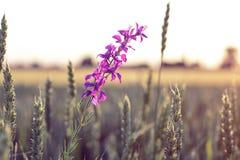 Belle fleur sauvage pourprée Image stock