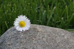 Belle fleur sur une roche Photographie stock libre de droits