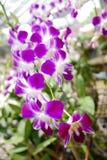 Belle fleur thaïe d'orchidée Image libre de droits
