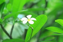 Belle fleur tropicale de plumeria Photos stock