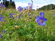 Belle fleur verte de bleu de champ Photo libre de droits