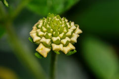 Belle fleur verte et crème Photo libre de droits