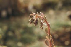 Belle floraison d'Echeveria photographie stock libre de droits