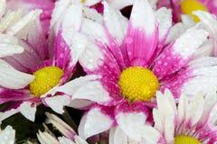 Belle floraison de fleur de chrysanthème Images stock