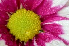 Belle floraison de fleur de chrysanthème Photos libres de droits