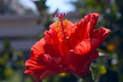 Belle floraison de magnolia images stock