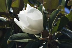 Belle floraison de magnolia photo stock