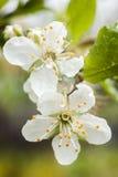 Belle floraison de pommier Photo libre de droits