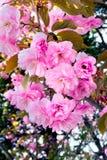 Belle floraison rose de fleur de Sakura Photo libre de droits