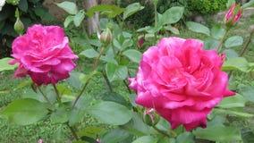 Belle floraison rose entièrement ouverte de rose image libre de droits