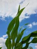 Belle foglie del cereale verde e cielo blu nuvoloso Immagini Stock Libere da Diritti