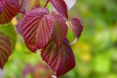 Belle foglie del odoratus del Rubus, il lampone porpora-fiorito in autunno immagini stock