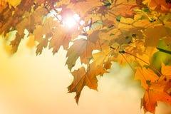Belle foglie di acero di autunno Fotografia Stock