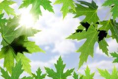 Belle foglie di acero contro il cielo blu Immagine Stock