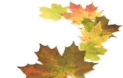 Belle foglie di acero su priorità bassa bianca. immagini stock libere da diritti