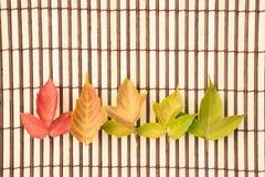 Belle foglie di acero verdi, rosse e gialle di autunno su una b marrone Fotografie Stock Libere da Diritti