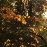 Belle foglie di autunno dorate con il backlighting luminoso dal sole Fotografie Stock Libere da Diritti