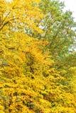 Belle foglie di autunno gialle sugli alberi nel parco Immagini Stock Libere da Diritti