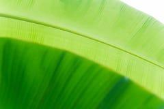 Belle foglie fresche della banana Immagini Stock