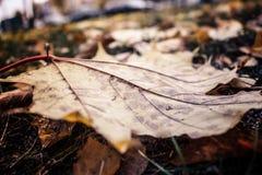 Belle foglie gialle dell'acero nella macro caduta su terra Fotografie Stock Libere da Diritti