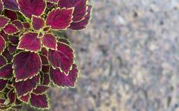 Belle foglie isolate sul fondo della roccia immagine stock libera da diritti