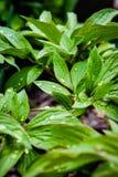Belle foglie luminose della peonia immagine stock