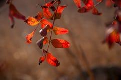 Belle foglie rosse e gialle, su un ramo, caduta immagini stock libere da diritti