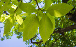 Belle foglie verdi Fotografie Stock