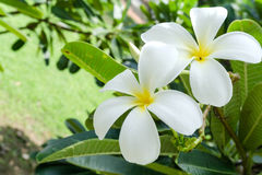 Belle foglie verdi del frangipane nel parco Fotografie Stock