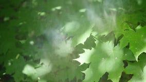 Belle foglie verdi di un albero di acero durante la tempesta di pioggia della molla con pioggia che cade su loro stock footage
