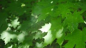 Belle foglie verdi di un albero di acero durante la tempesta di pioggia della molla con pioggia che cade su loro video d archivio