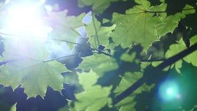 Belle foglie verdi di un albero di acero durante la tempesta di pioggia della molla con pioggia che cade su loro archivi video