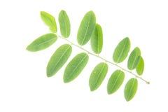 Belle foglie verdi fresche su fondo bianco Immagini Stock