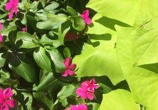 Belle foglie verdi lucide e fiori porpora Fotografie Stock Libere da Diritti