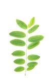 Belle foglie verdi su fondo bianco Immagini Stock Libere da Diritti