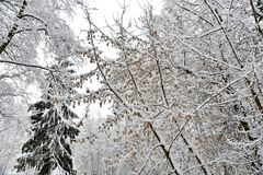 Belle forêt d'hiver après la neige tombée Photographie stock