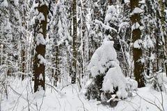 Belle forêt d'hiver après la neige tombée Photographie stock libre de droits