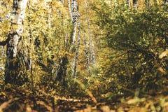 Belle forêt de bouleau jaune d'automne en Russie image stock