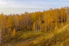 Belle forêt de bouleau jaune d'automne en Russie photographie stock libre de droits