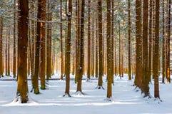 Belle forêt de l'hiver Images libres de droits