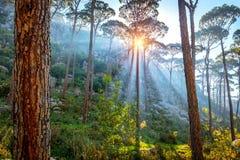 Belle forêt de pin photos libres de droits